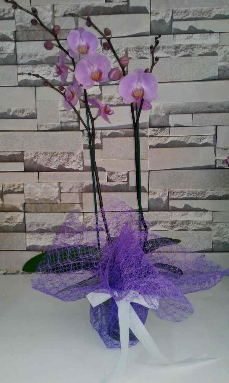 Orkide (İkili)
