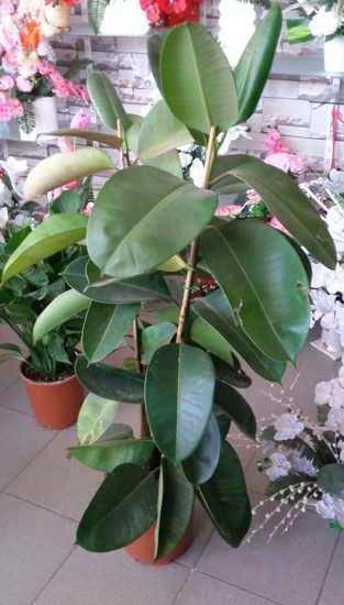 Kauçuk salon bitkisi